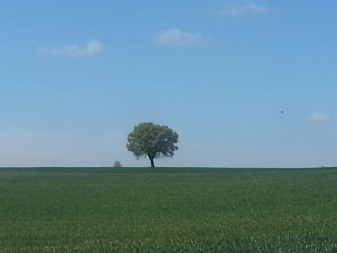 A lone tree on the French Camino