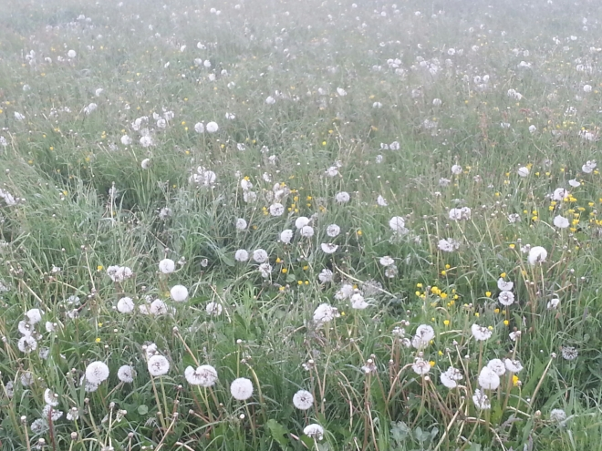 Dandelions on the French Camino